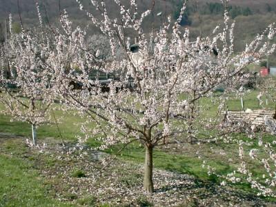 Flowering apricot tree in Austria