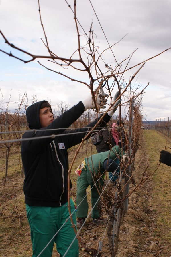 Make vine pruning an international learning experience; Picture: VITEA project