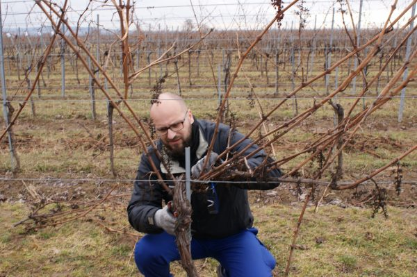Vine pruning - practice makes perfect! Picture: VITEA Project